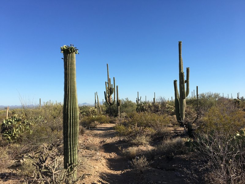Saguaros starting to bloom in the first week in May along the Cactus Wren Trail.