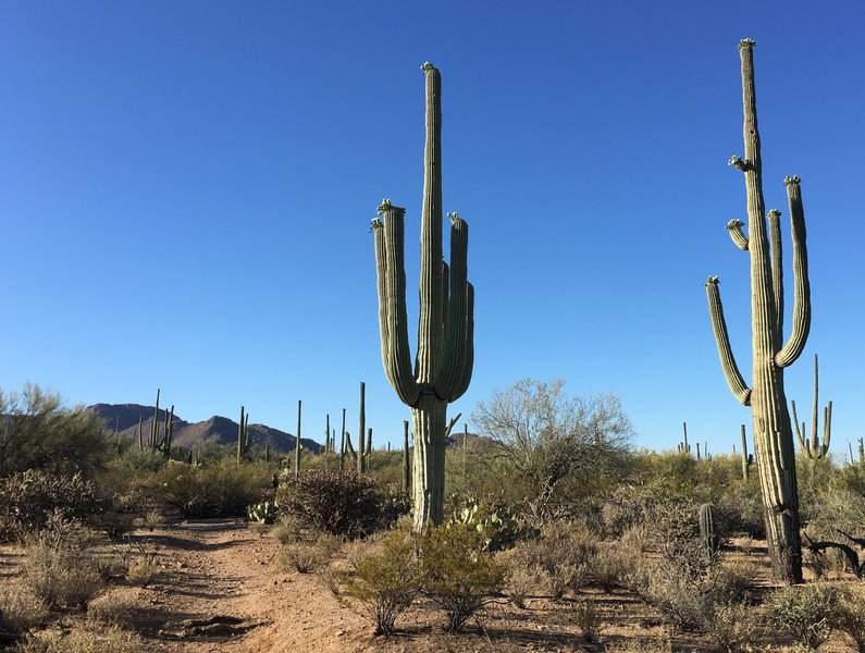 Beautiful saguaros, but they don't offer much shade. Carry plenty of water, wear a hat, and wear sunscreen.