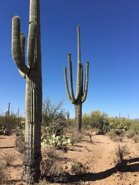 Blue skies and saguaros along the Manville Trail.
