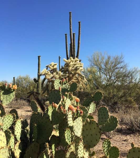 Various cacti starting to bloom along the Encinas trail in May.