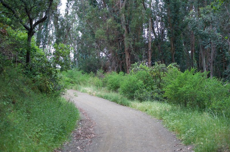 Eucalyptus trees are found surrounding the trail at this point.