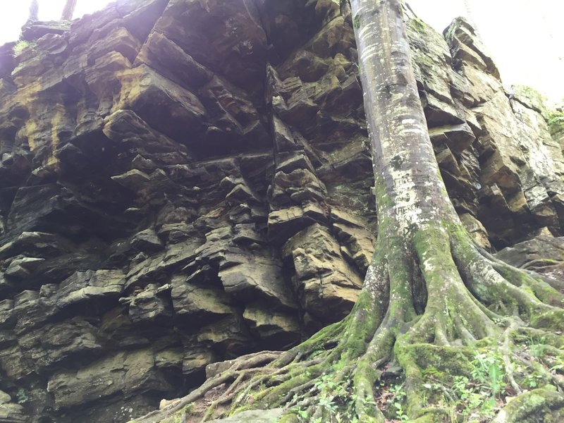 An impressive root system at the bottom of the cliffs.