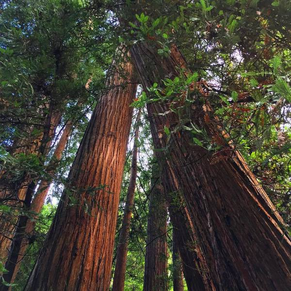 Big trees are great all over in Muir Woods.
