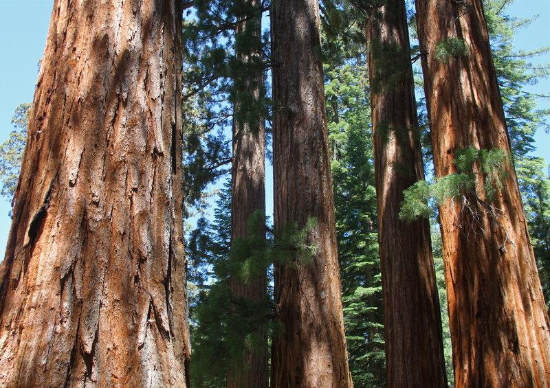Sequoias, Mariposa Grove.