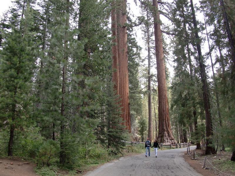 Towering trees in Mariposa Grove.