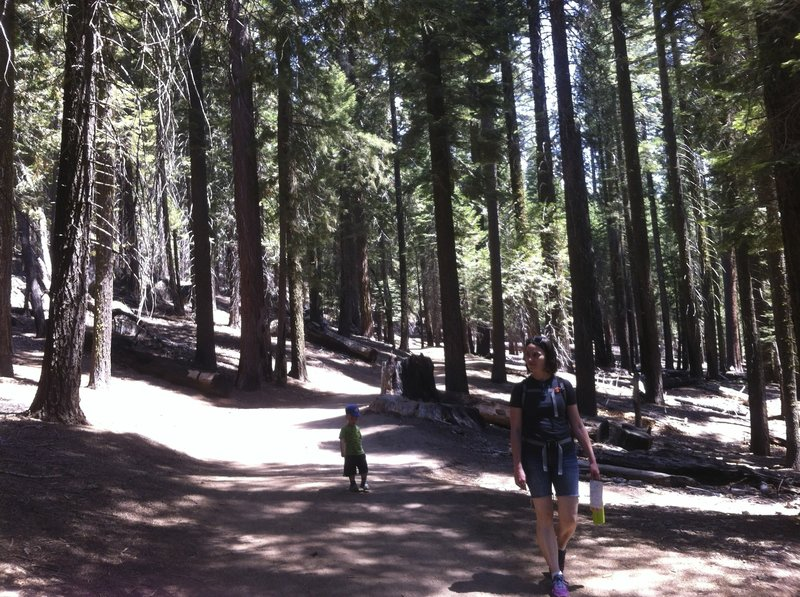 Easy wide paths in Mariposa Grove.
