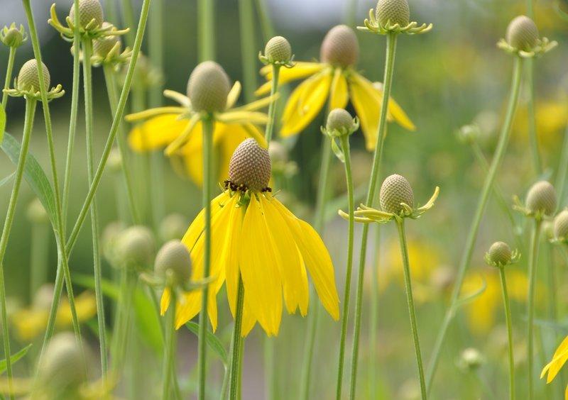 Meadow coneflowers.