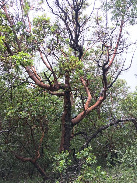A powerful Madrone