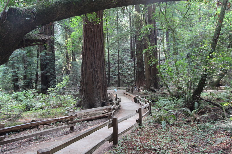 Winding through the redwoods.