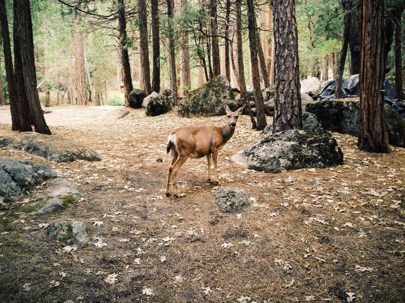 A curious deer near Wawona.
