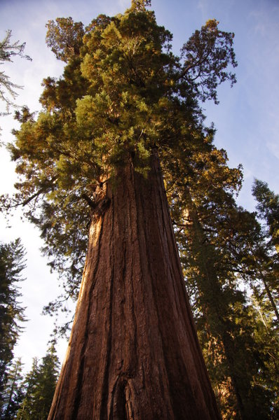 A giant in the Mariposa Grove.