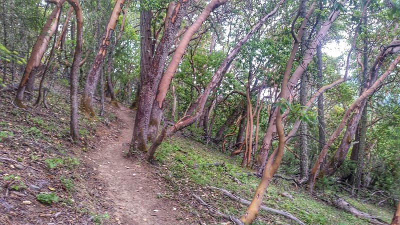 Madrone Trees along the trail.