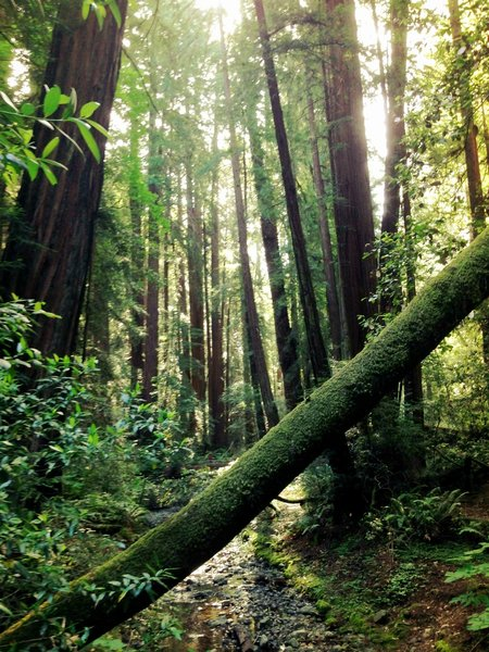 Muir Woods moss covers everything.