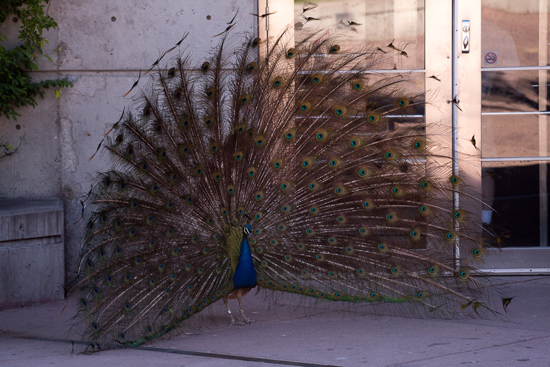 Male Peacock looking for a mate.