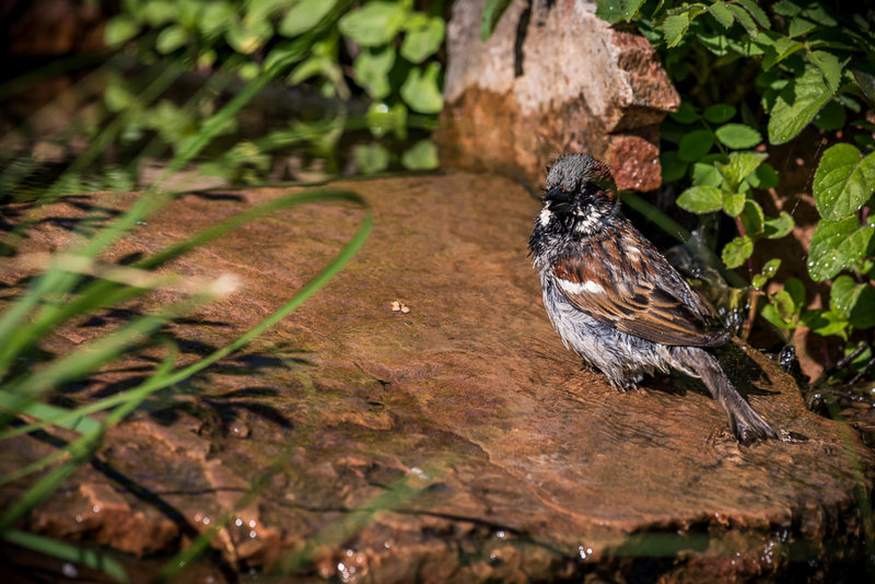 Sparrow, singing in the bath.