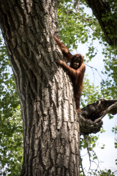 Young Hesti the orangutan high up in a cottonwood tree.