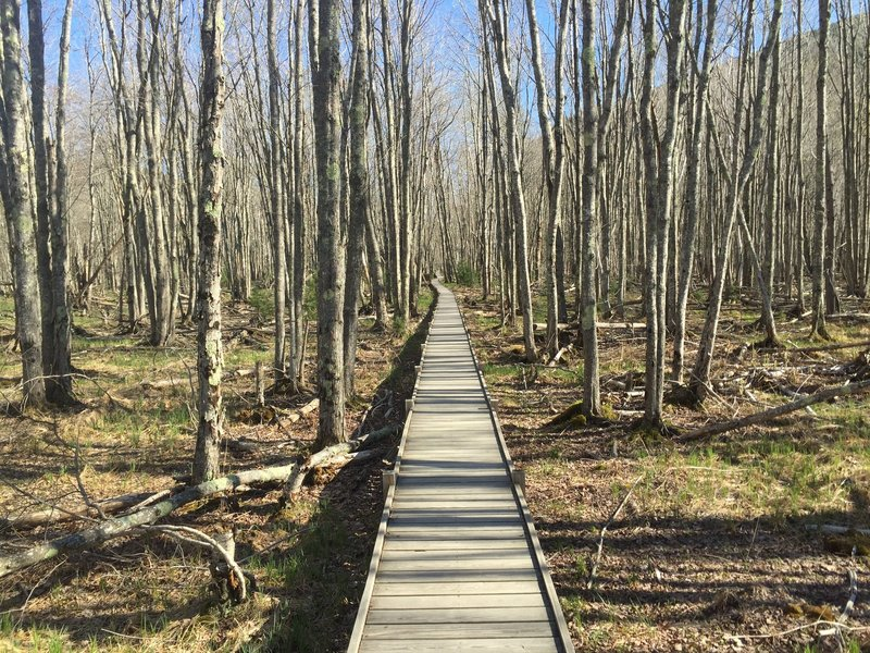 Elevated boardwalk along the Jesup Path.
