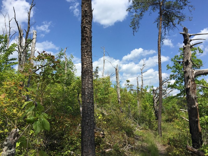 A large portion of the bluff was cleared by beetles and fire, but is coming back.