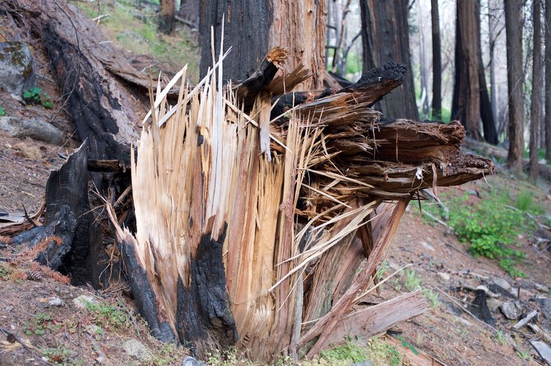 A tree damaged by fire sits just off the trail. This trail gives you an opportunity to see a forest recovering from fire.