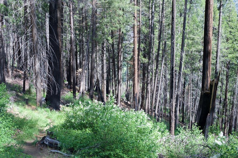 As the trail makes its way into the woods, evidence of the Rim Fire comes into view. The forest is recovering.