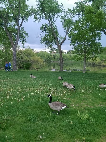 Canadian geese hanging out by the lake.