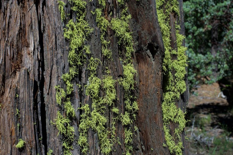 Moss grows on a tree along the trail.