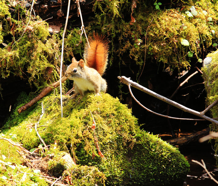 Red squirrel at a stream crossing.