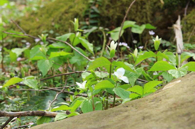 Patch of white trillium in bloom.