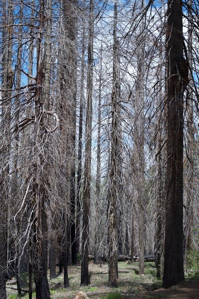 The forest has opened up and is beginning to recover from the Rim Fire.