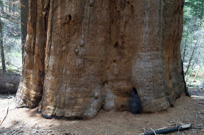 A Giant Sequoia as you enter the grove. It's a huge tree with wide root system to help absorb water.