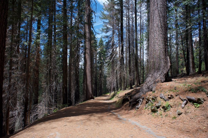 The Old Big Oak Flat Road continues to Hodgdon Meadow as it passes through the Tuolumne Grove.