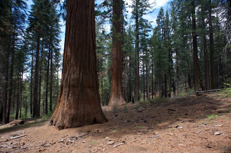 Giant Sequoias in the grove tower above you.