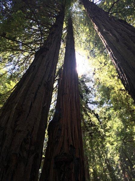 Among the redwood giants.