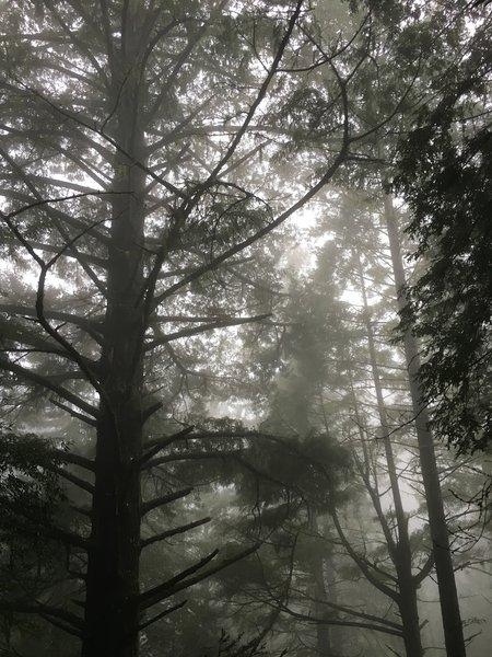 Redwoods in fog.