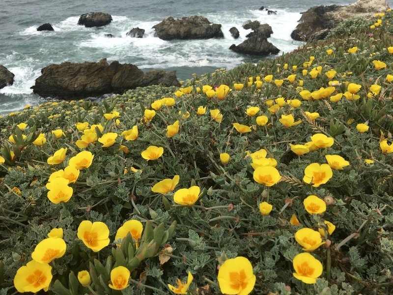 California poppies on the rugged CA coastline.