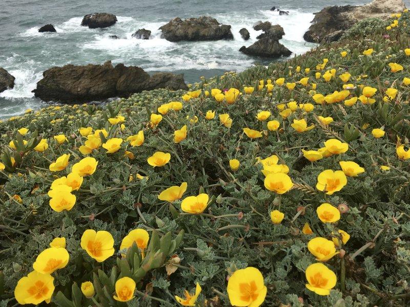 California poppies on the rugged CA coastline.