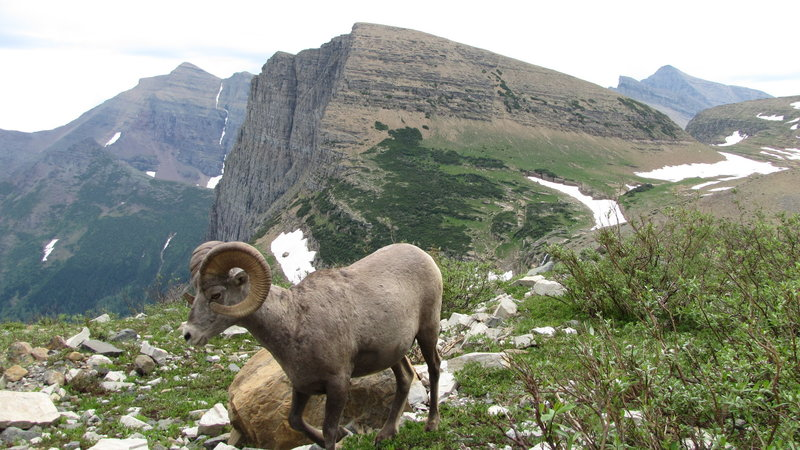Bighorn Sheep at Grinnell Glacier, Many Glacier area. with permission from phil h