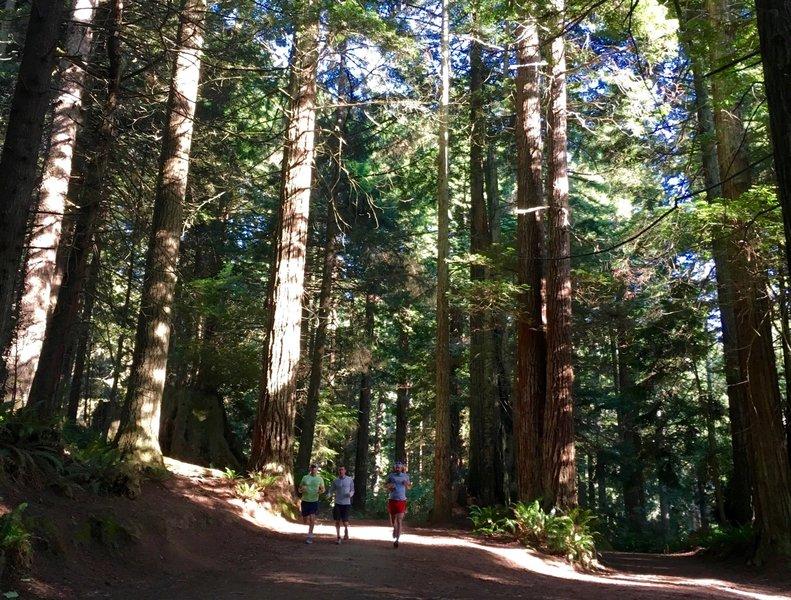 Sunshine filtering through the redwoods
