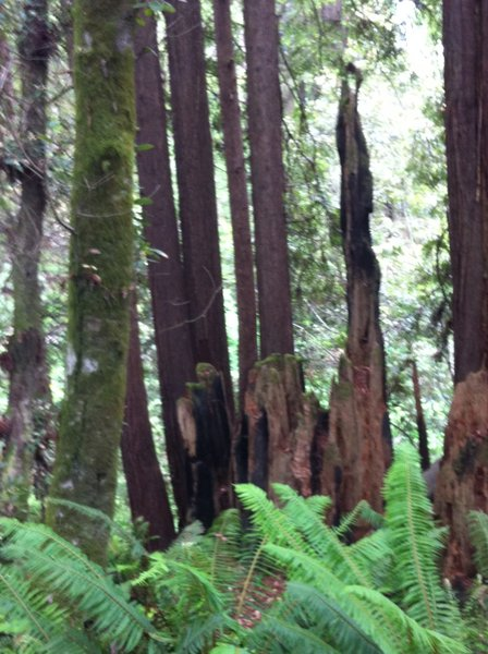 Redwood fairy rings, stumps and ferns along the trail. All the redwoods harvested here were used to build the original SF, CA
