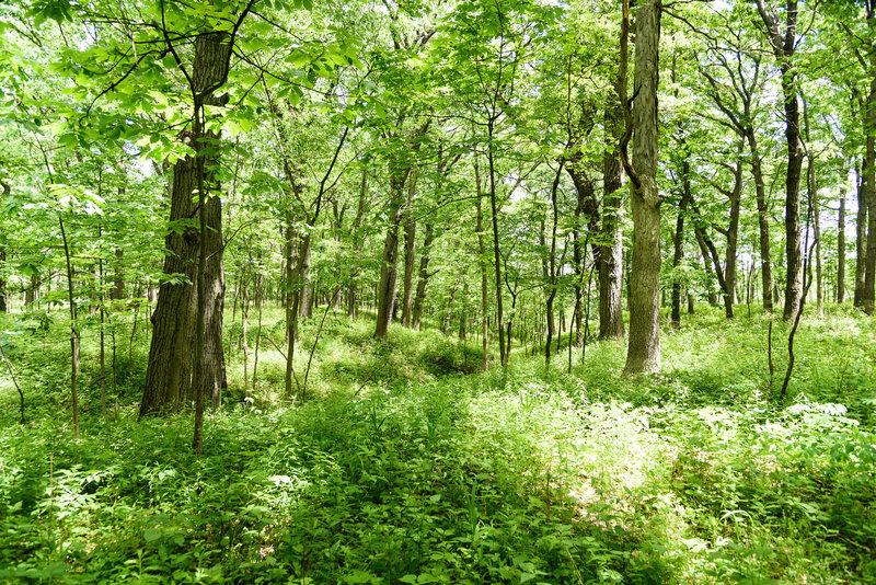 Bur oak savanna along the Hobart Woodland Trail.