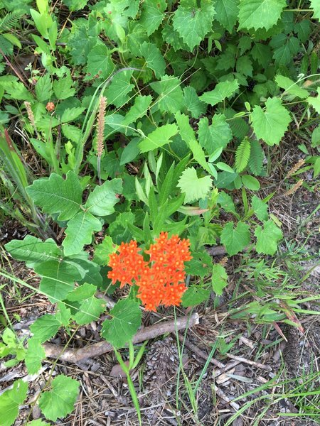 Butterfly weed?