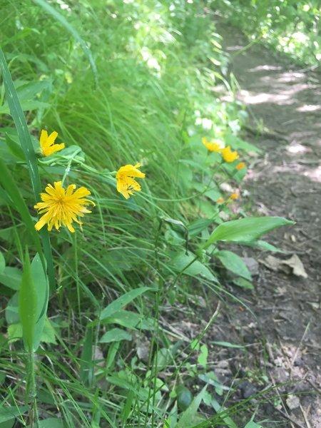 Yellow hawkweed, I believe, trailside.