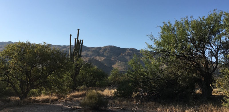 Giant Saguaro blooming near Loma Verde Trail with Rincon Mountains in the background.