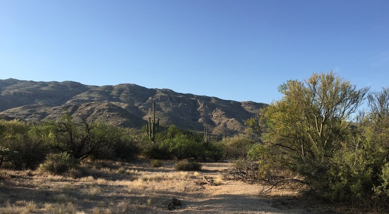 Saguaro cacti with Tanque Verde Ridge in the background.