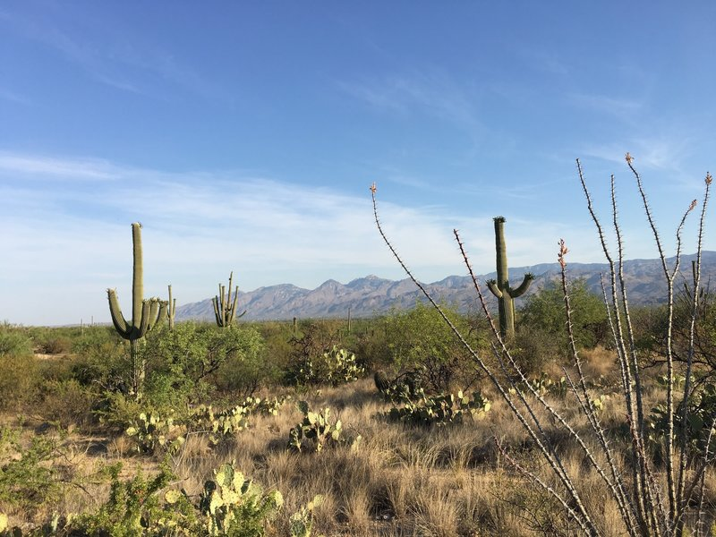 Blooming saguaros along Squeeze Pen trail. In distance are the Santa Catalina Mountains, Pusch Ridge, and Mt. Lemmon.