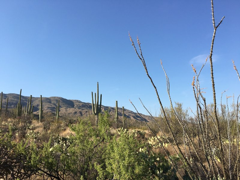 Ocotillo (right foreground) with saguaro cacti on a hillside and Tanque Verde Ridge in the background.