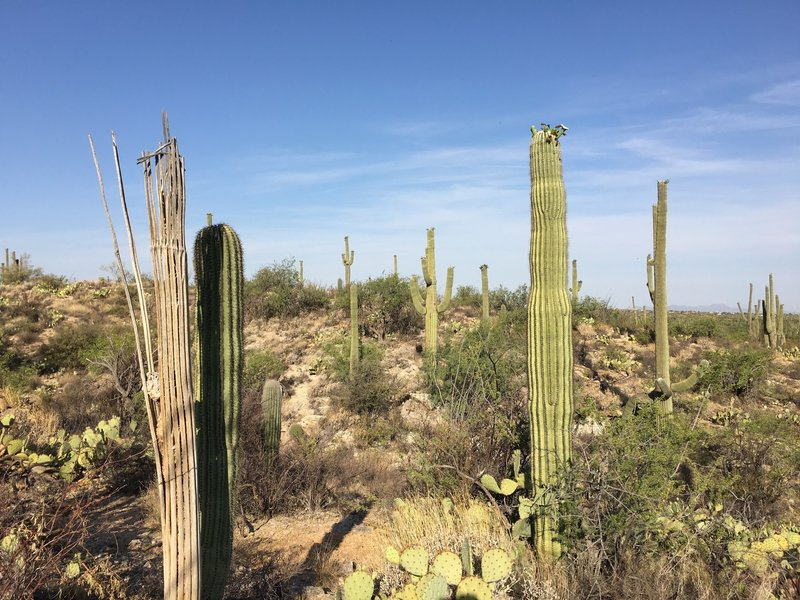 Old and new saguaros along the Deer Valley trail.