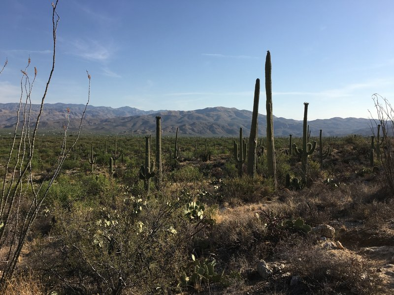 Ocotillos, prickly pear, and saguaros are some of the desert plant life to view off the Deer Valley trail.