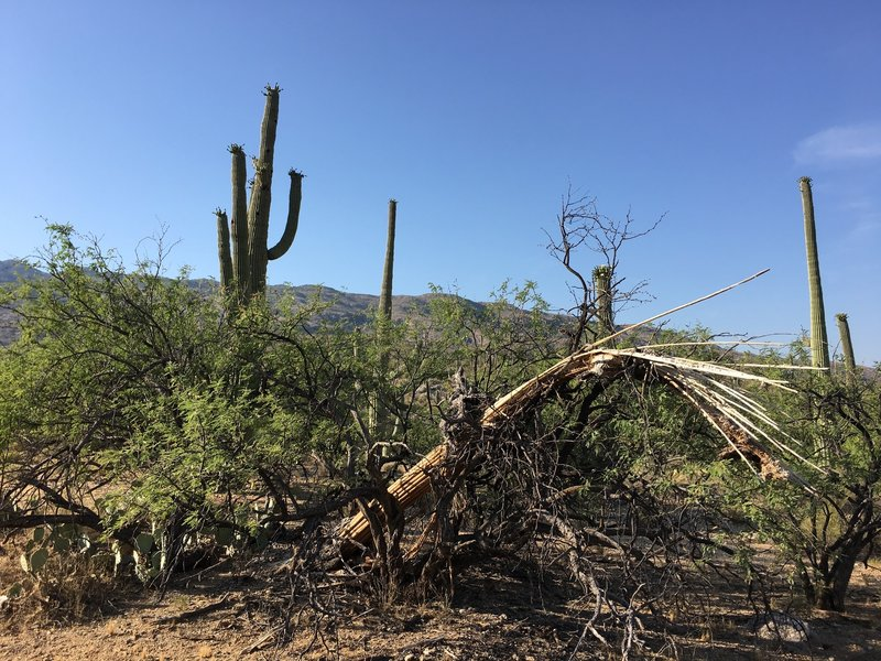 Old saguaro came to rest in a mesquite tree while other saguaros are flowering.