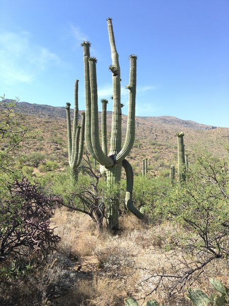 Flowering Saguaros along Carrillo trail.